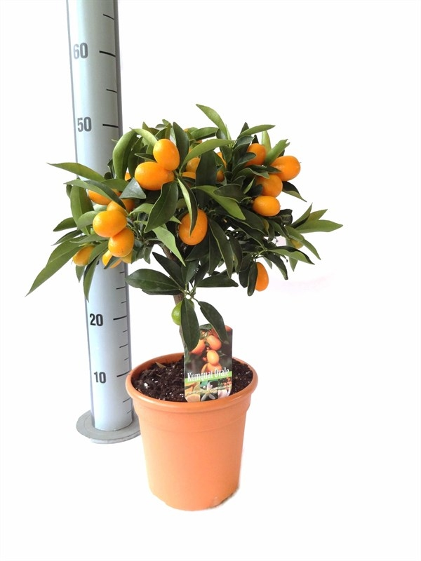 Кумкват CITRUS_KUMQUAT__FUKUSHU_STEM